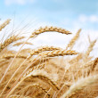 Grain field — Stock Photo #31541945