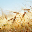 Grain field — Stock Photo #31541971