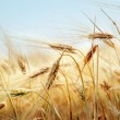 Foto Stock: Grain field