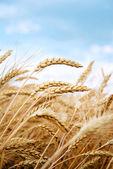 Campo de grãos — Foto Stock