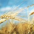 Wheat ears — Foto Stock