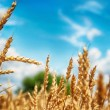 Foto Stock: Wheat field