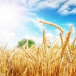 图库照片: Wheat ears under sun