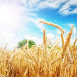 Foto Stock: Wheat ears under sun