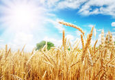 Wheat ears under the sun — Stock Photo