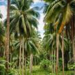 Coconut jungle — Stock Photo