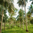Stock Photo: Coconut palm forest