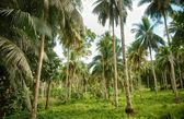 Coconut palm forest — Stock Photo