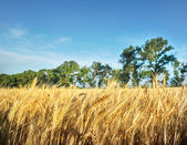Wheat field under blue sky — Stok fotoğraf