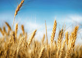 Wheat ears under blue sky — Stok fotoğraf