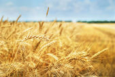 Grain field. Photo taken on 01.07.2013 — Stock Photo