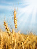 Wheat ears and sunbeams — Stock Photo