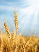 Wheat ears and sunbeams — Stock Photo
