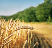 Wheat ear ready for harvest — Stock Photo
