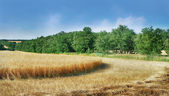 Grain field panorama — Stock Photo