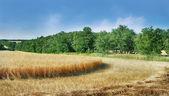 Grain field panorama — Stock Photo