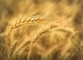 Wheat ear — Stock Photo