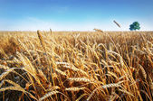 Wheat ears under blue sky. Photo taken on 24 june 2014 — Stock Photo