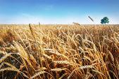 Wheat ears under blue sky. Photo taken on 24 june 2014 — Stock Photo