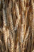 Ears of wheat. Photo taken on 24 June 2014. — Stock Photo