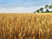 Golden grain field — Stock Photo