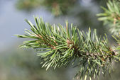 Spruce branches close-up — Stock Photo