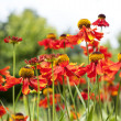 Field of red and orange flowers — Stock Photo