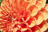Firy orange bulb Dahlia in closeup — Stock Photo