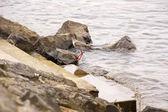Yemek için bakarak sahilinde rock redshank duran — Stok fotoğraf