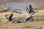 Geese taking off for a flight — Stock Photo