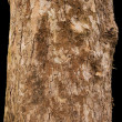 Постер, плакат: Scaly tree bark of the Platane