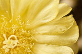 Cactus flower with frayed edged leaves — Stock Photo