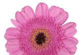 Roze gerbera close-up macro — Stockfoto