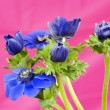 Stock fotografie: Bouquet of blue windflowers on pink background