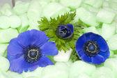 Blue Anemones in green isolation foam — Stock Photo