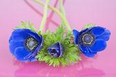 Drei blaue Anemonen auf rosa Hintergrund — Stockfoto