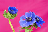 Three blue windflowers on a pink background — Stock Photo