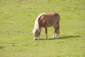 Brown horse grazing in meadow — Photo