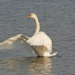 Swan on the water, spreading it's wings to dry — Stock Photo