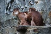 Defleaing monkeys, one is looking into the camer — Stock Photo