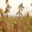 Stock Photo: Soy beans