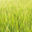 Stock Photo: Green gras