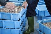 Prepairing caixas de peixe para o mercado — Fotografia Stock