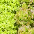 Stock Photo: Lettuces variety