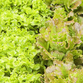 Lettuces variety — Stock Photo