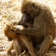Stock Photo: Baboon Mother Grooming Her Offspring