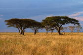 Acacia tree group at Sunset — Stock Photo