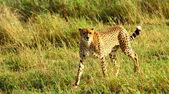 Cheetah stare down — Stok fotoğraf