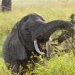 Elephant Eating — Stock Photo #21308015