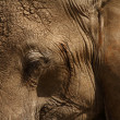 Stock Photo: Elephant Head Close Up